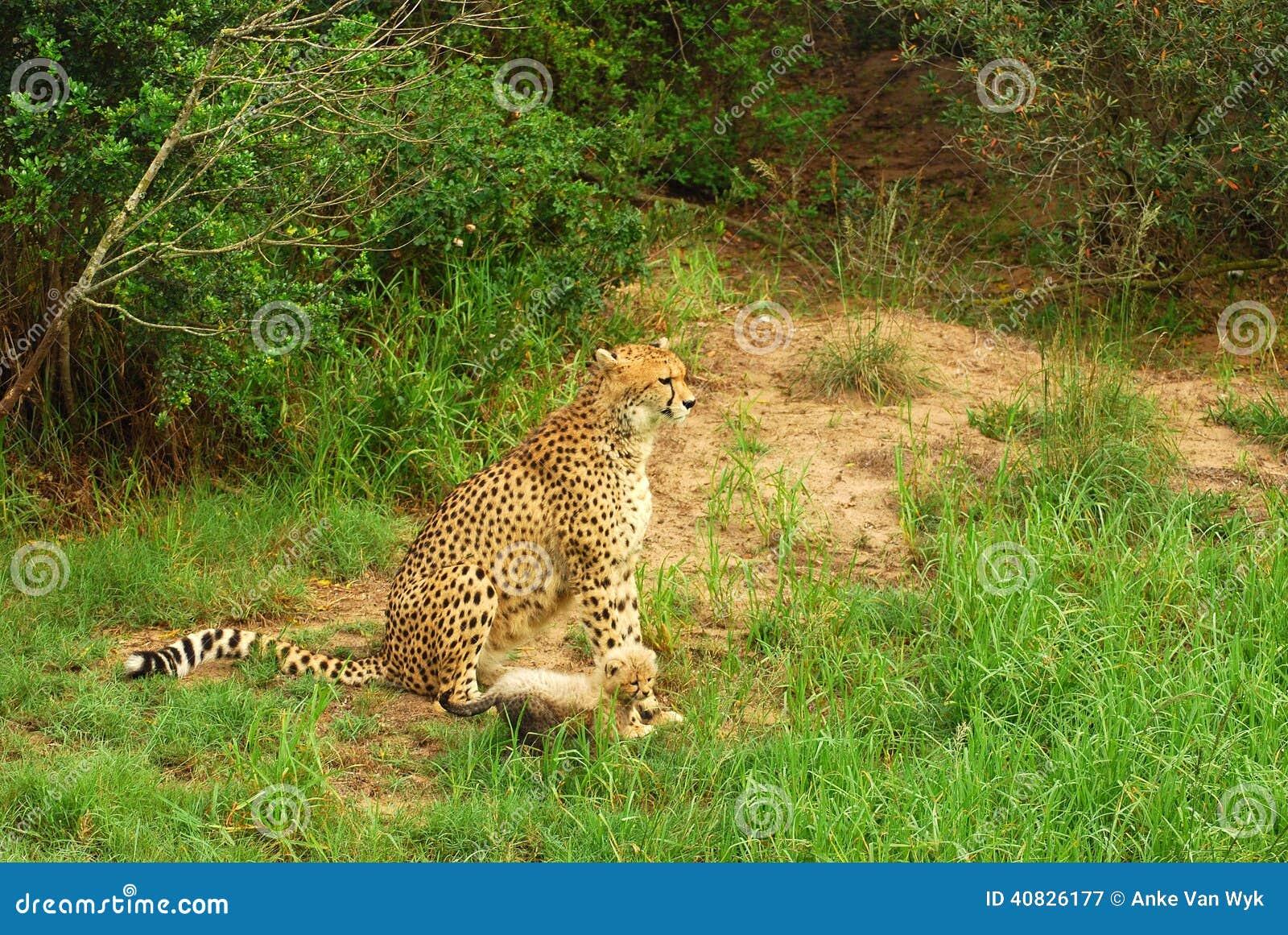Gepardgröngöling med mamman