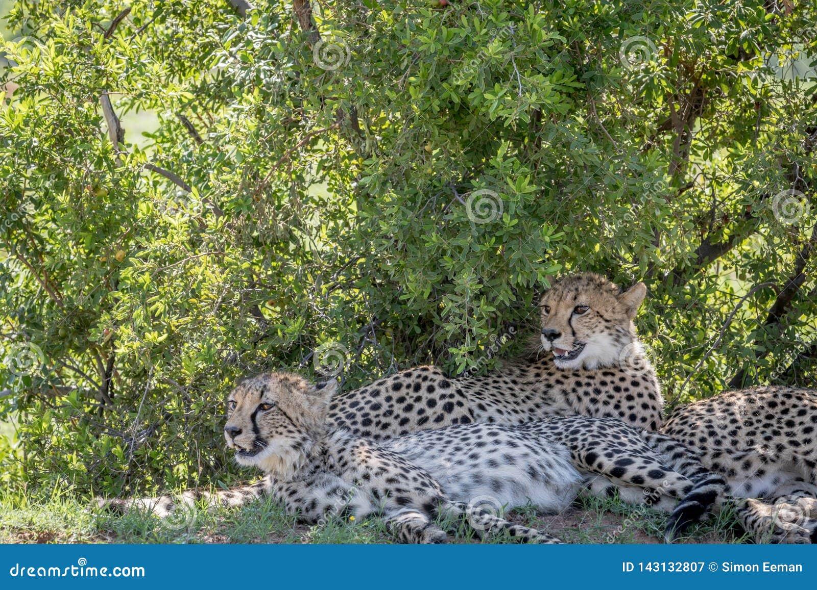 Gepardy kłaść w trawie pod krzakiem