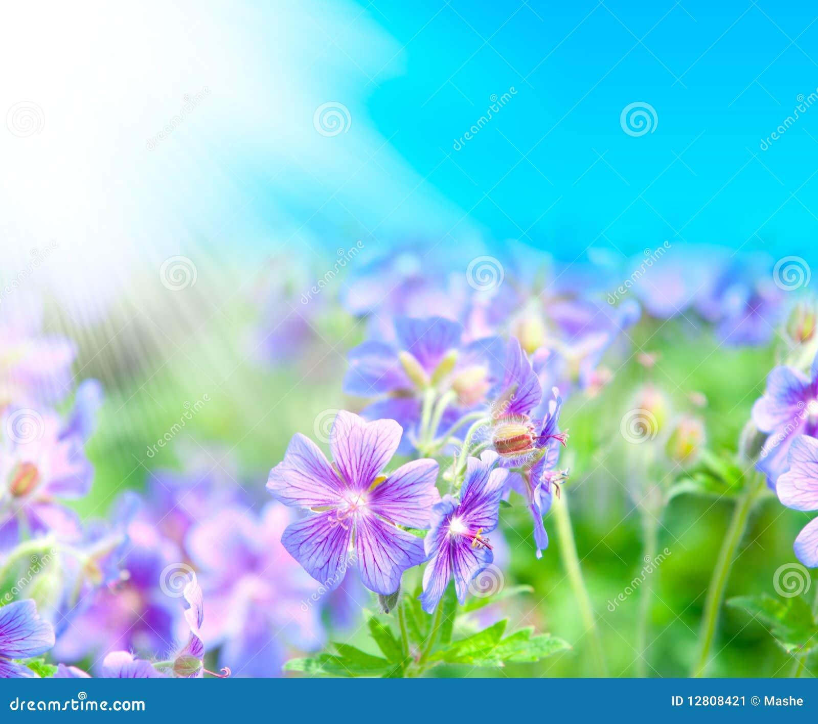 Gerânio de florescência do início do verão