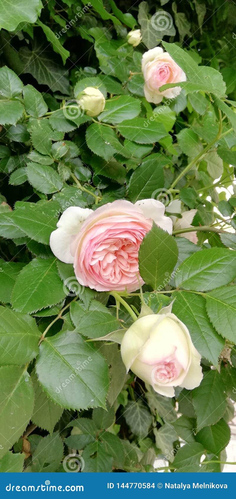 Gerade ein geregnet Empfindliche Rose auf dem Hintergrund des hellen Laubs