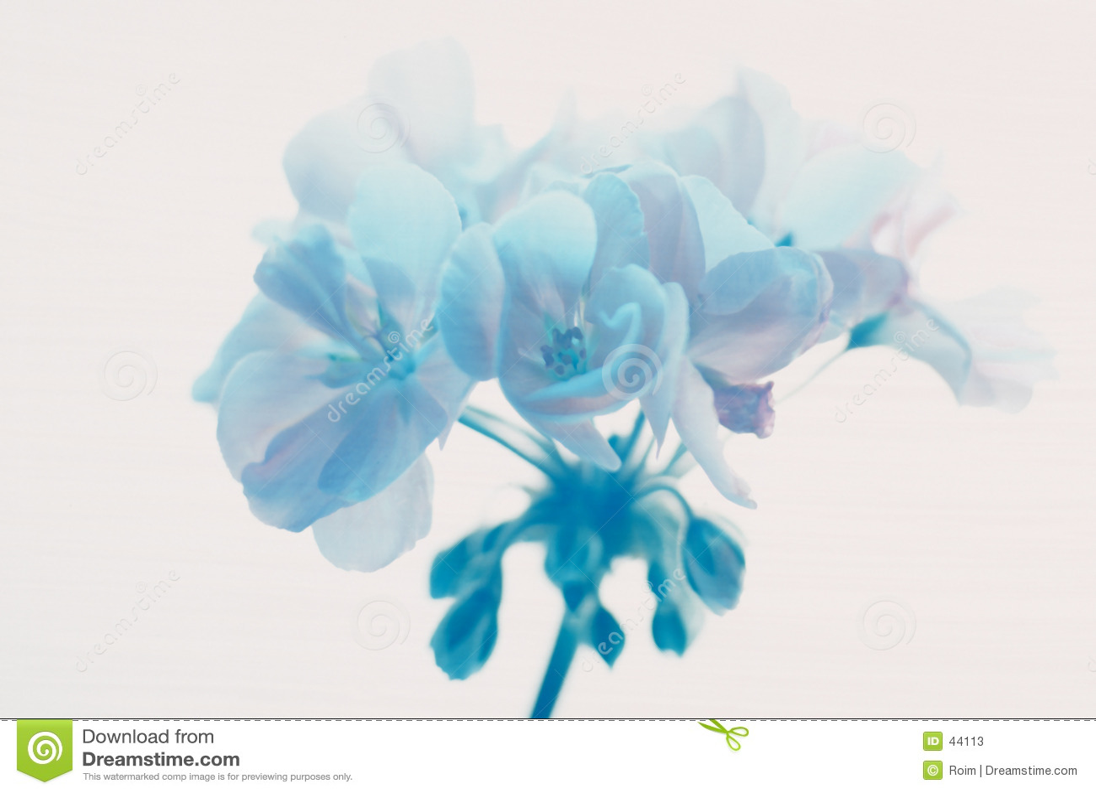 Geraniium blu