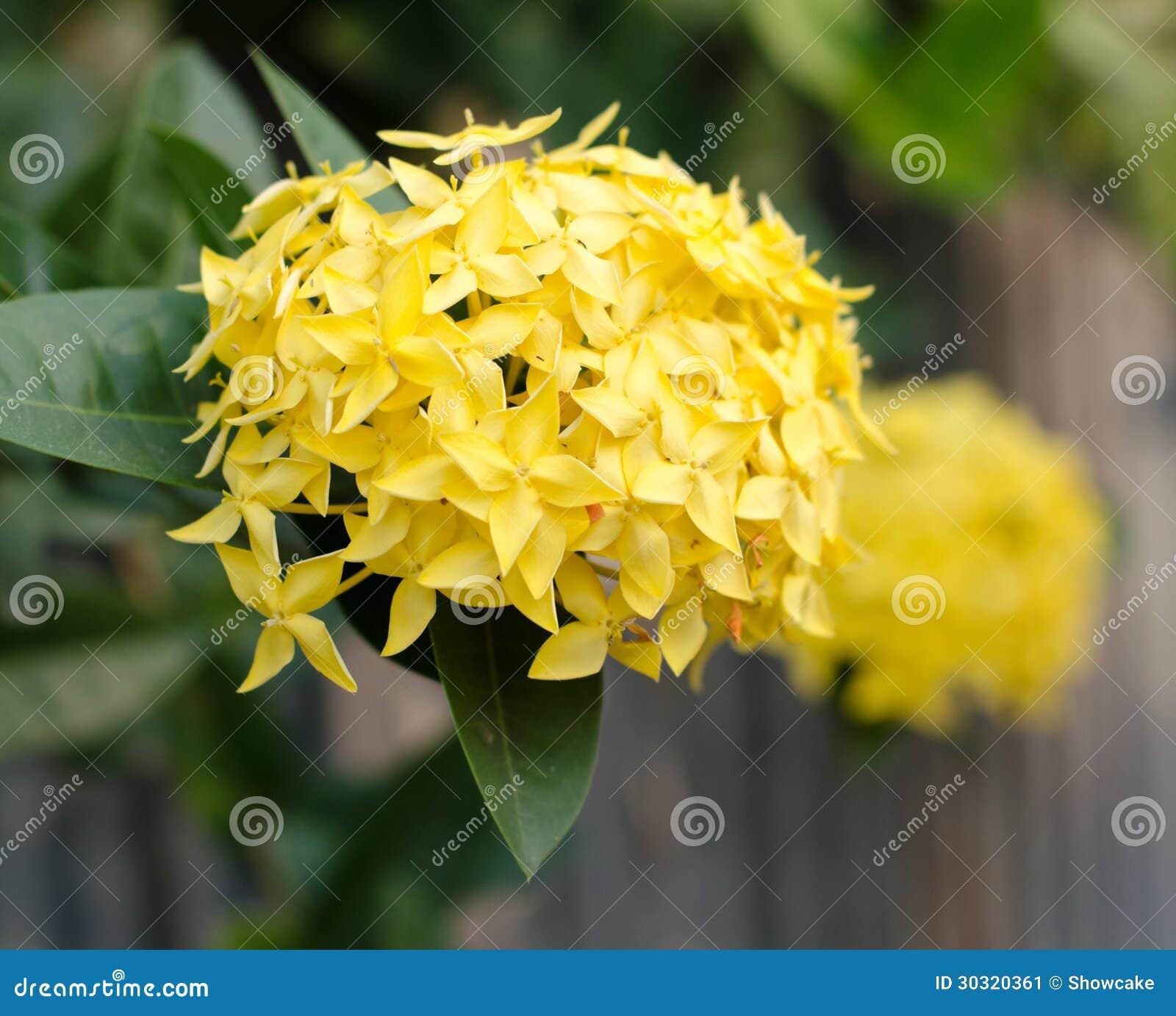 Geranio della giungla coccinea di ixora primo piano - Geranio giallo ...