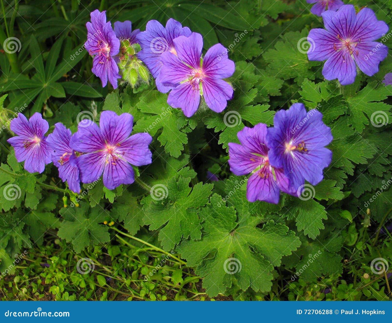 Geranium × magnificum  Rosemoor