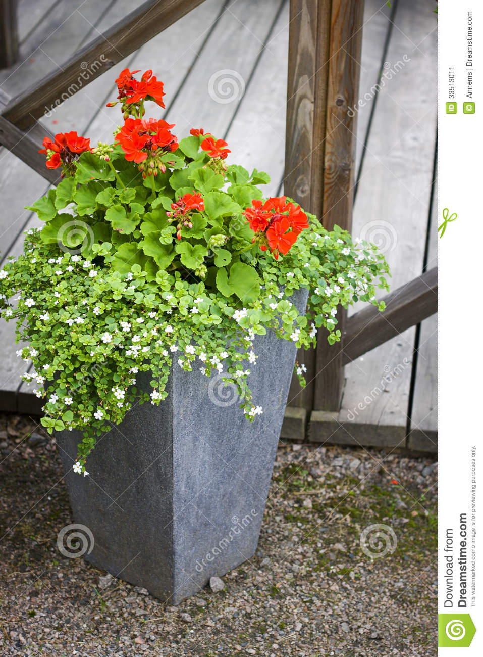 Geranium In Concrete Flower Pot Stock Image Image 33513011