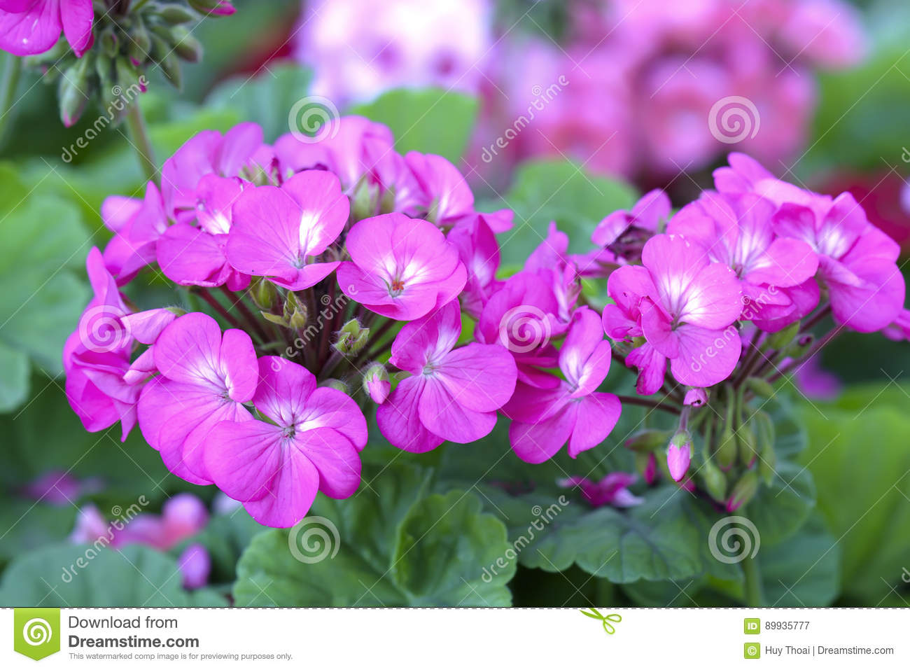 Geranium Flower blooming colorful pink, white, purple