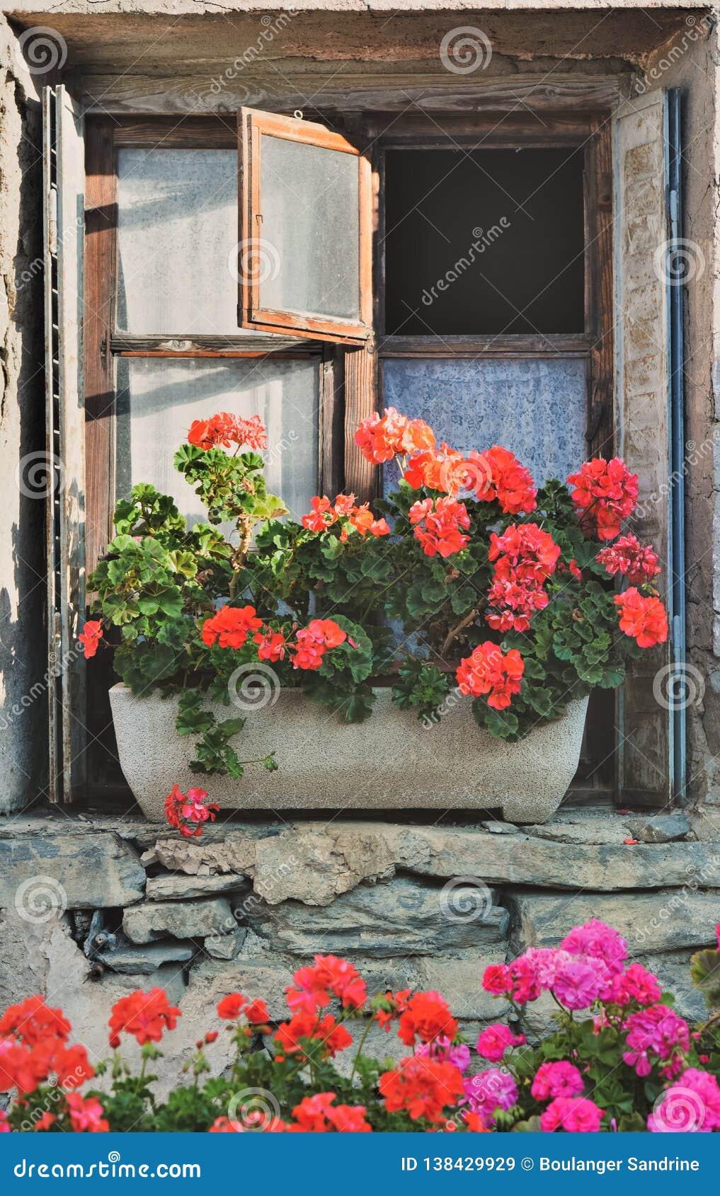 Geranium in flowerpot put on a window