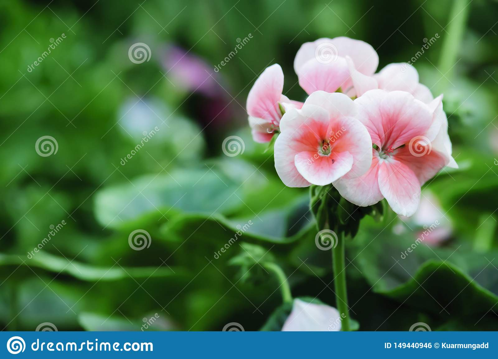 Geranium flowers bloom in the summer
