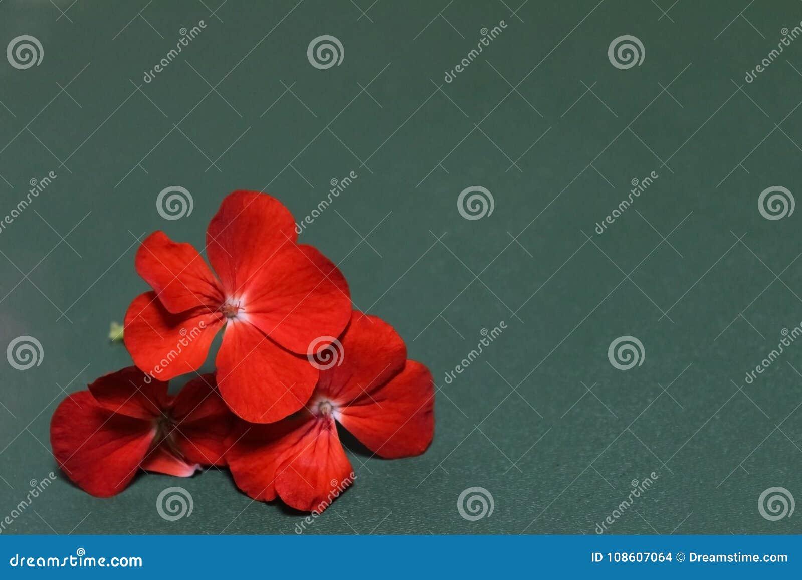 The geranium flowers