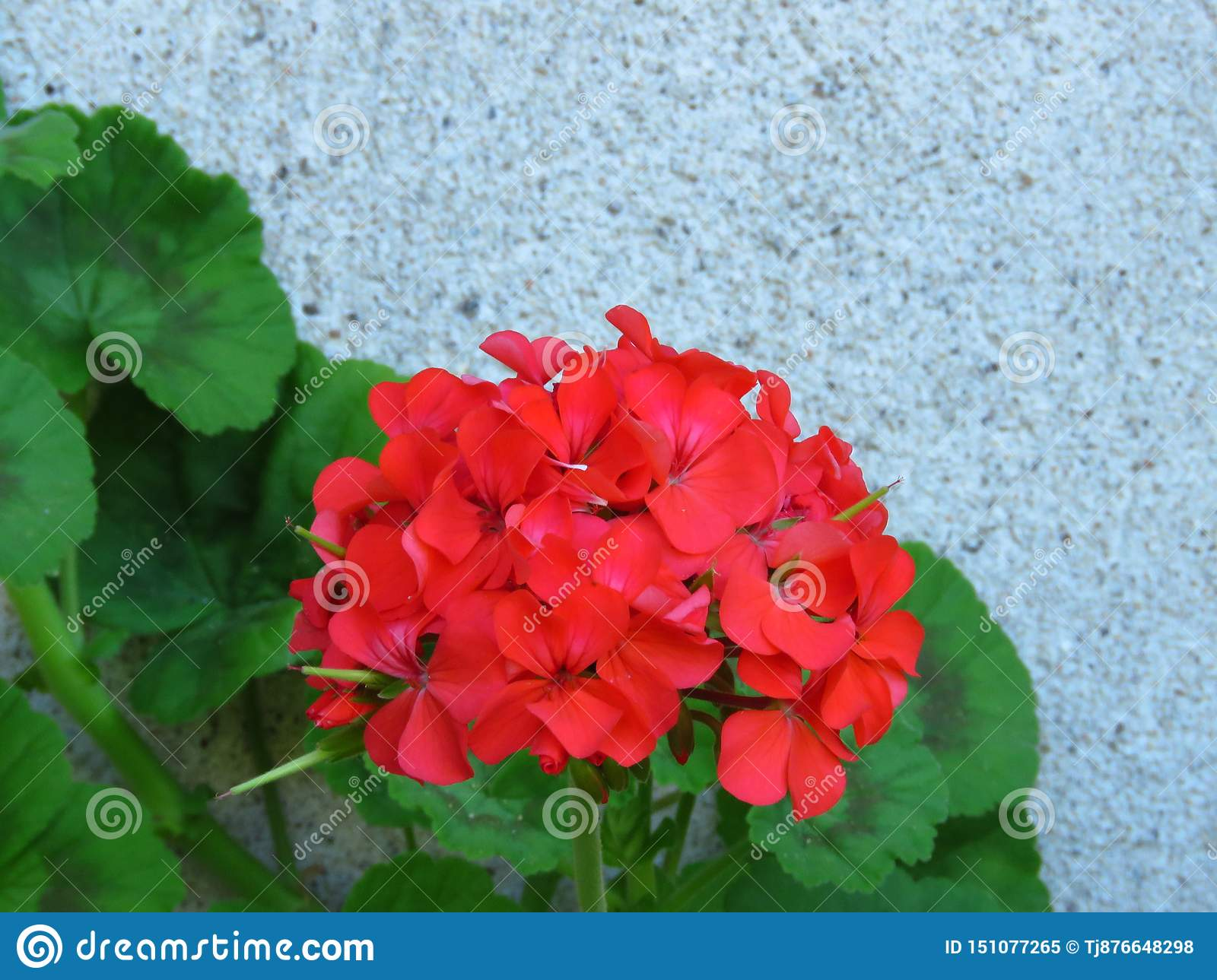 Geranium `Happy Thoughts Red` Pelargonium with red blooms and vibrant green leaves on white wall background.