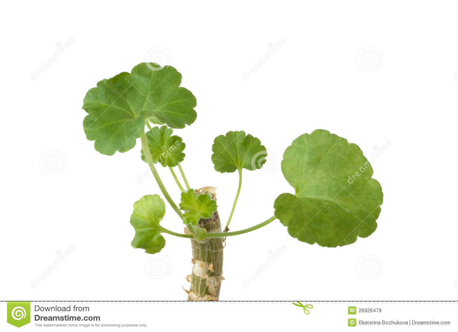 Geranium Plant Stem With Leaves Stock Image - Image: 26926479