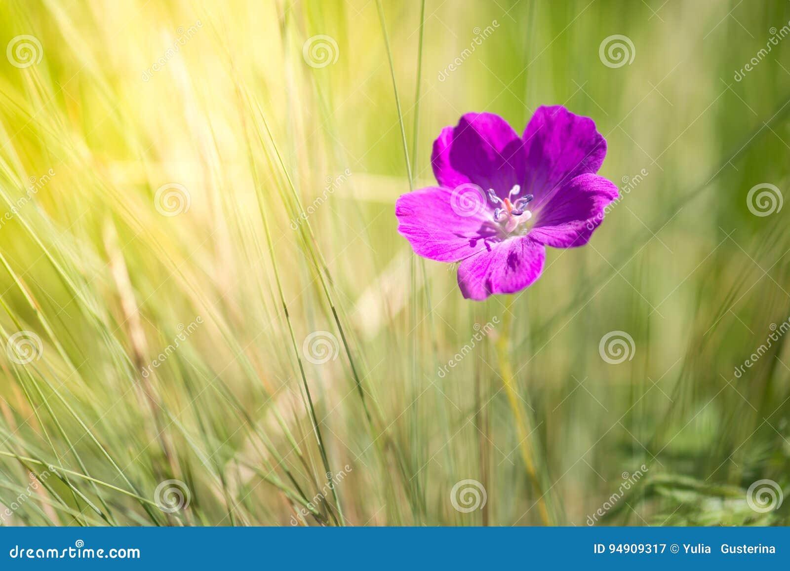 Geranium purpere kleur in het gras en het zonlicht Mooie wilde geranium Selectieve zachte nadruk