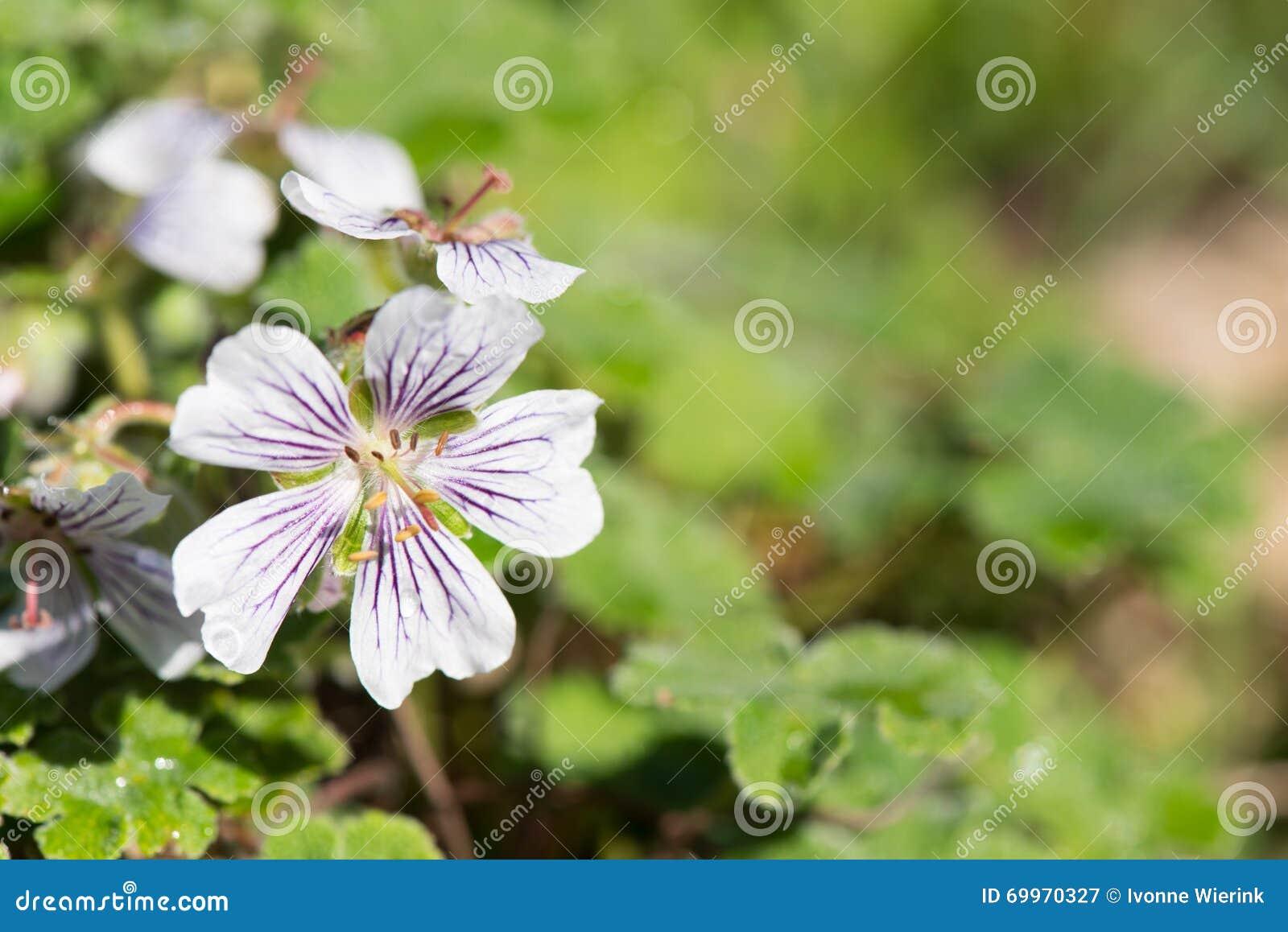 Geranium renardii white and blue