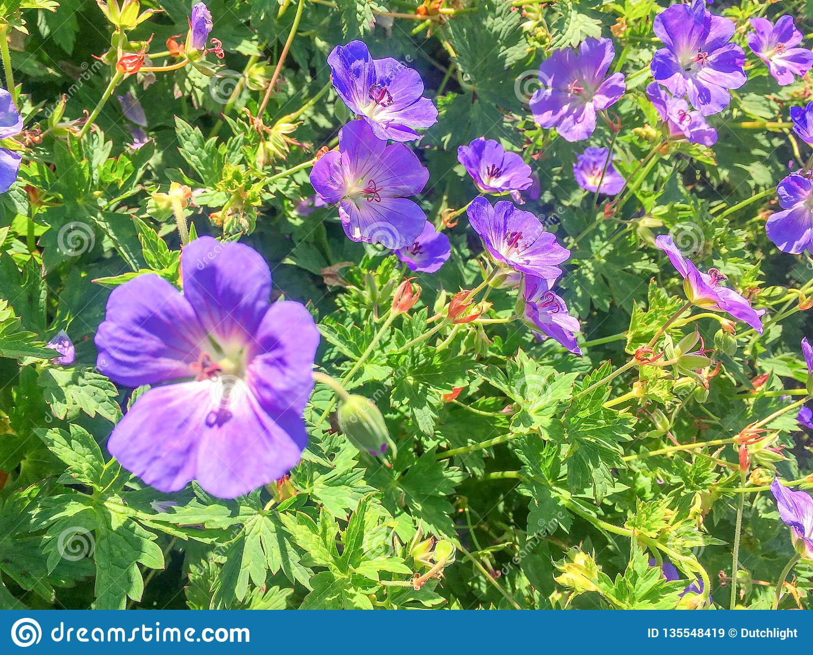 Geranium Rosanne plants flowering in close-up.
