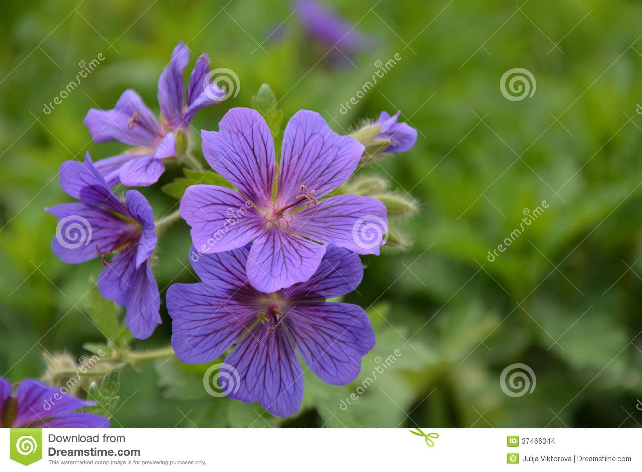 Geranium Rozanne Or Jolly Bee Stock Photo - Image of