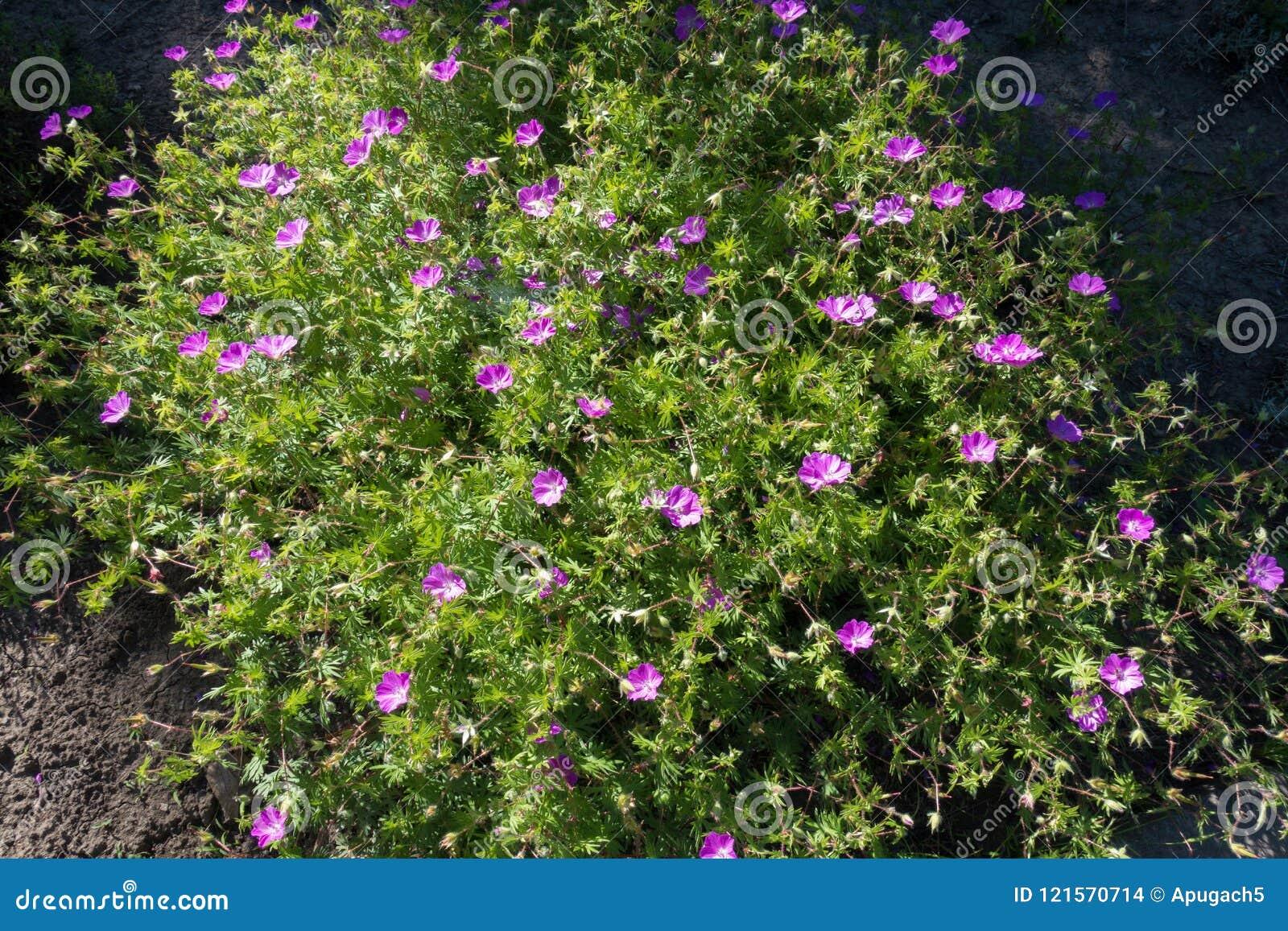Geranium sanguineum in full bloom in May