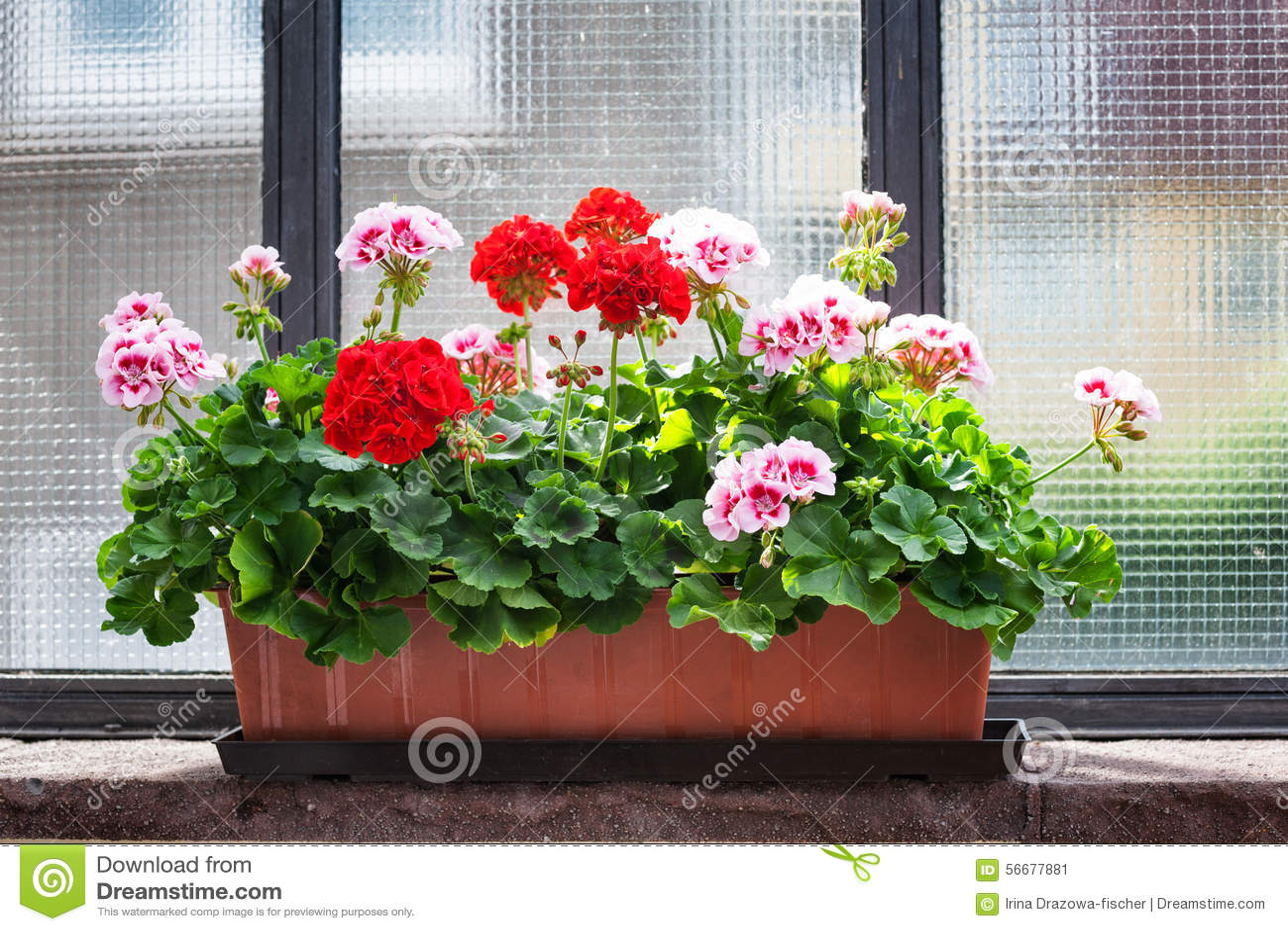 Geranium On Window Sill