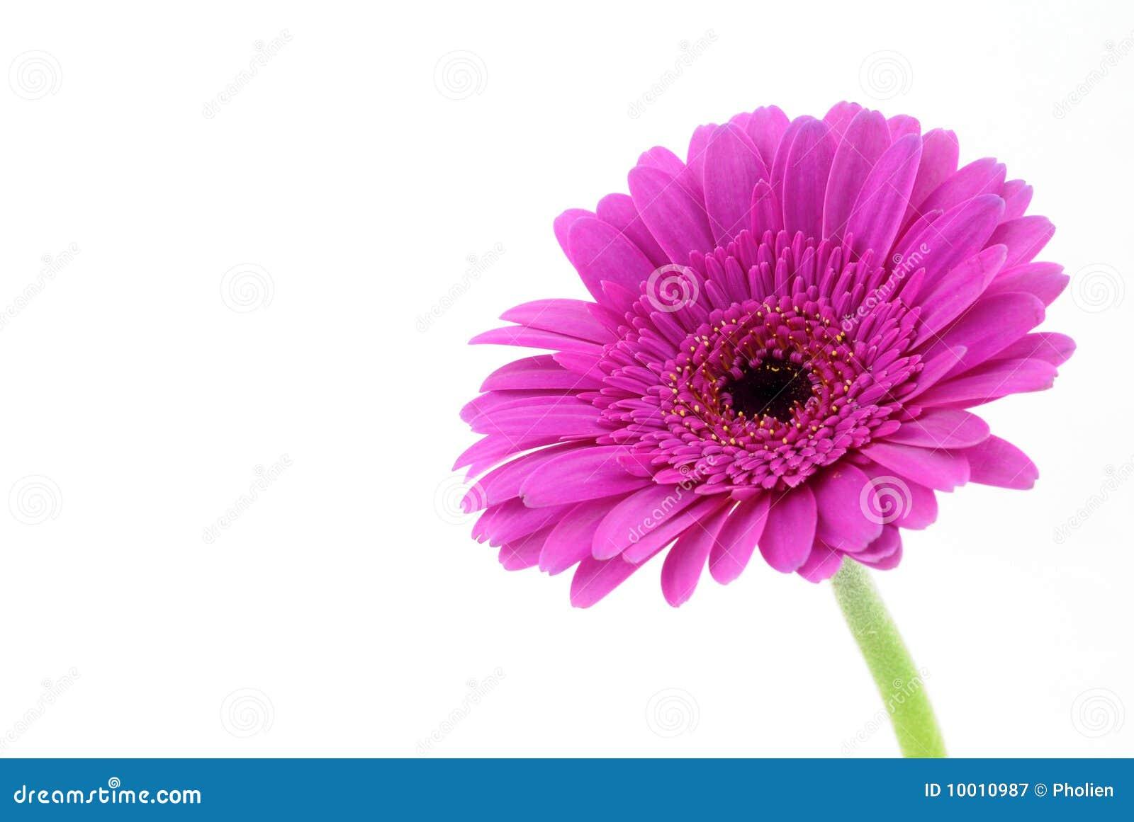 Gerber ροζ