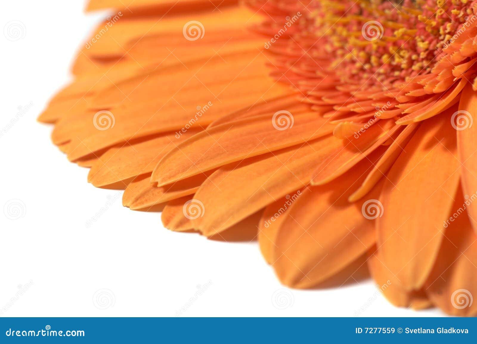Gerber anaranjado