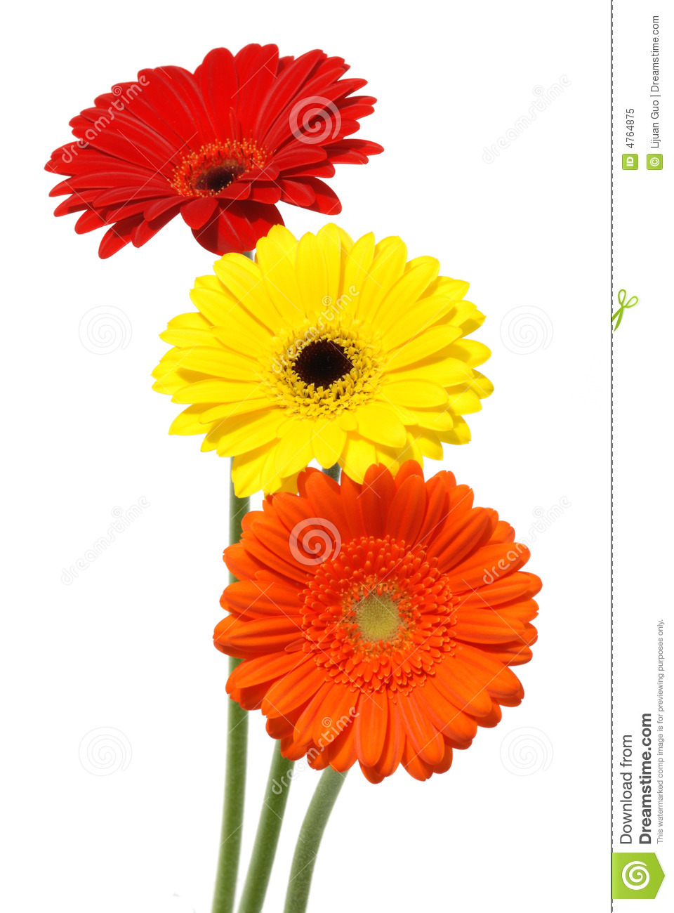 Gerber Daisy Flowers Isolated On White Stock Image Image Of