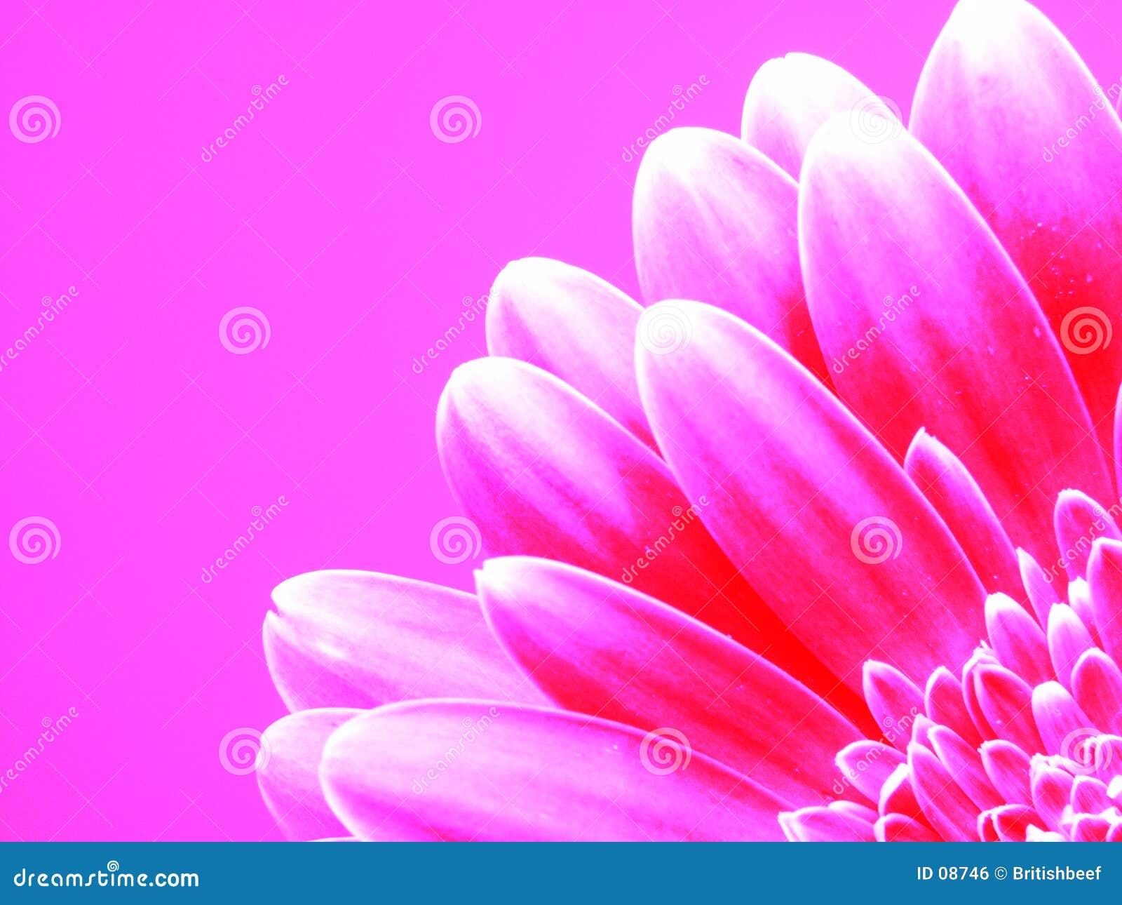 Gerber en color de rosa
