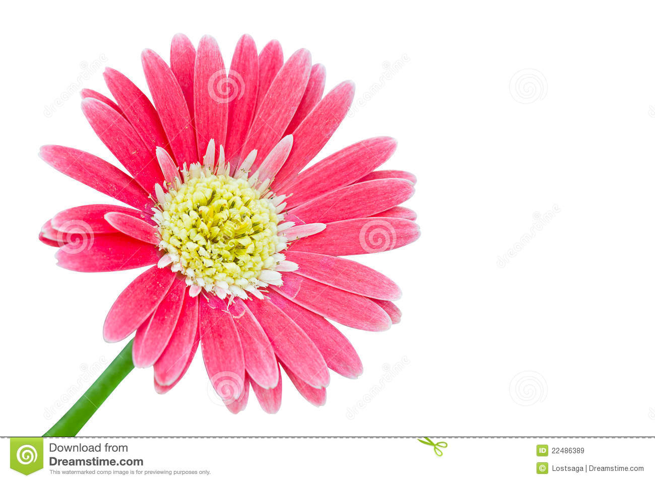 Gerber Flowers In Pink Color Stock Image Image Of Botany Macro