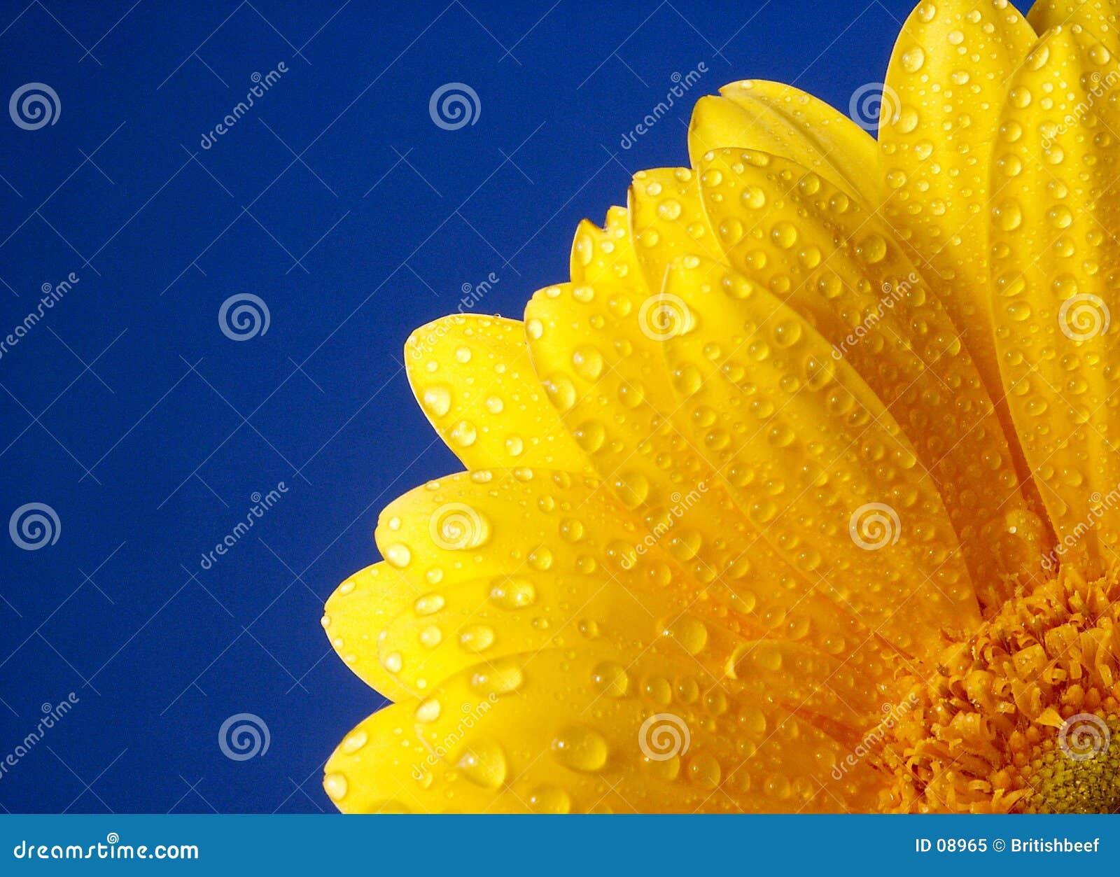 Gerber giallo