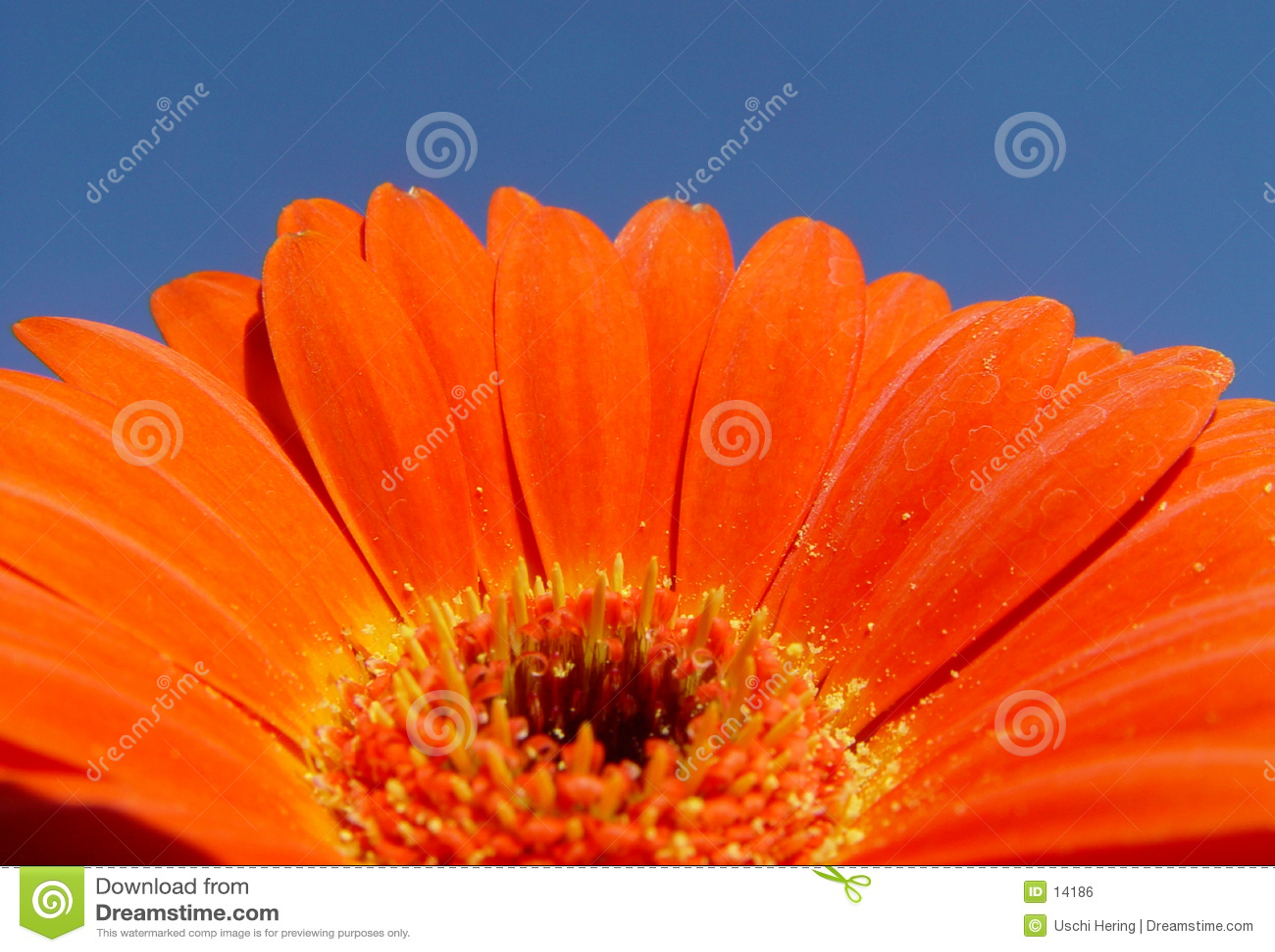 Gerbera anaranjado