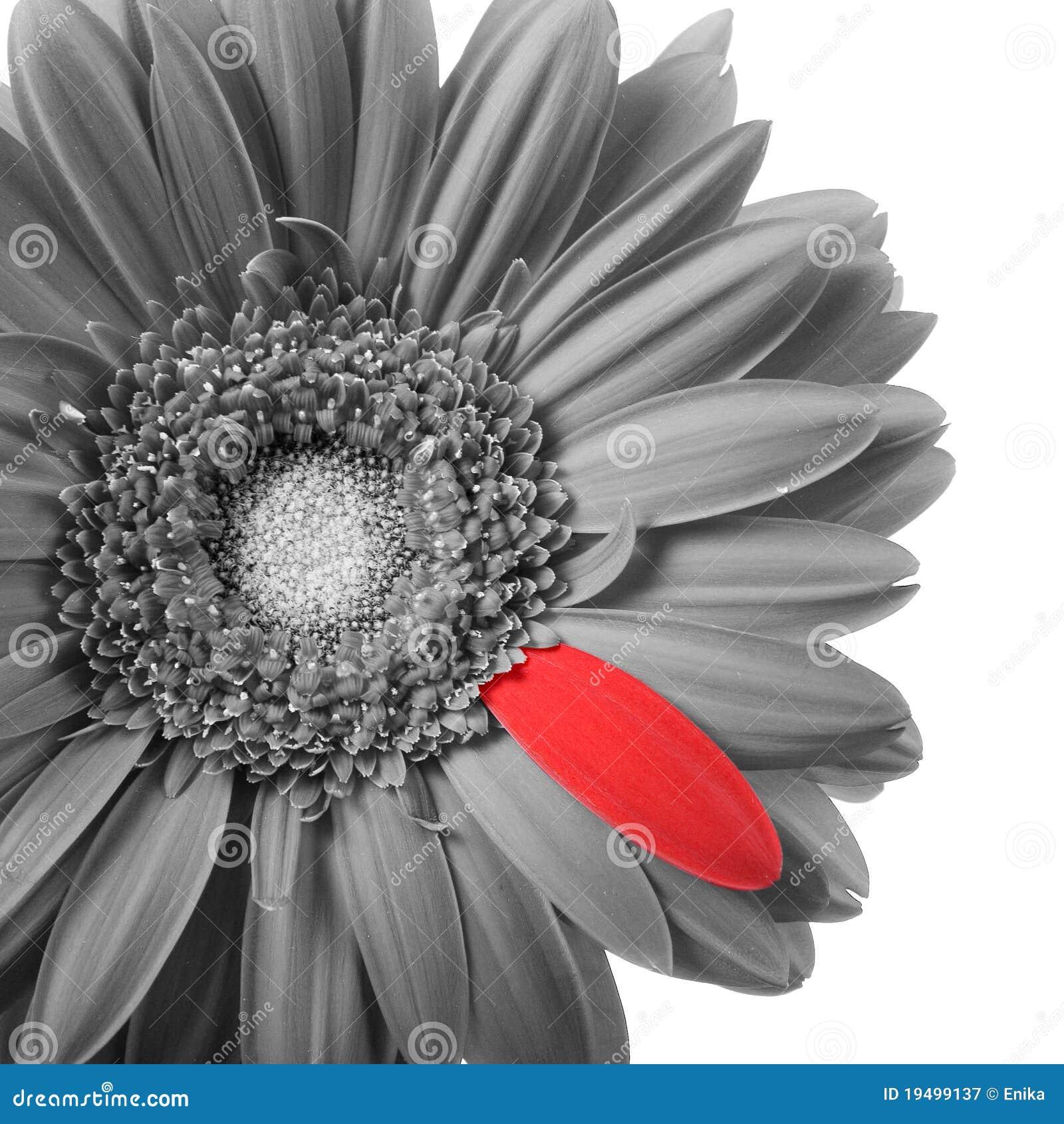 Gerbera in bianco e nero con il petalo rosso immagine for Arredamento bianco nero e rosso