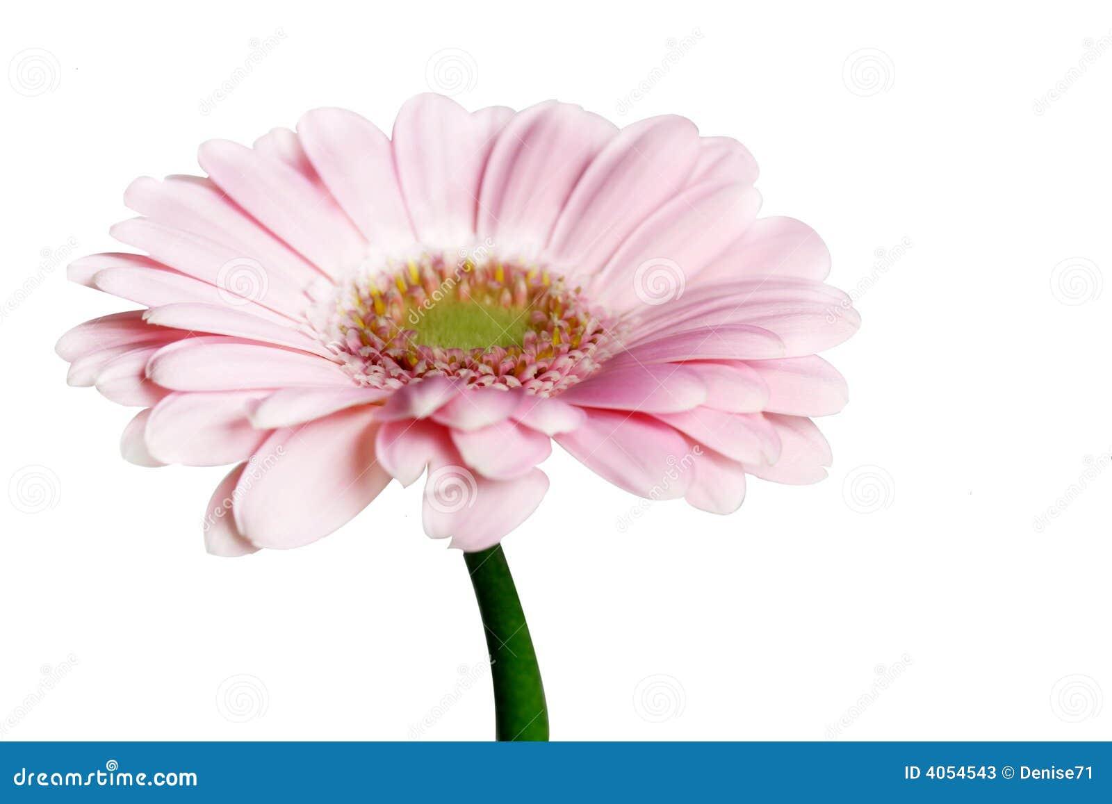 Gerbera cor-de-rosa