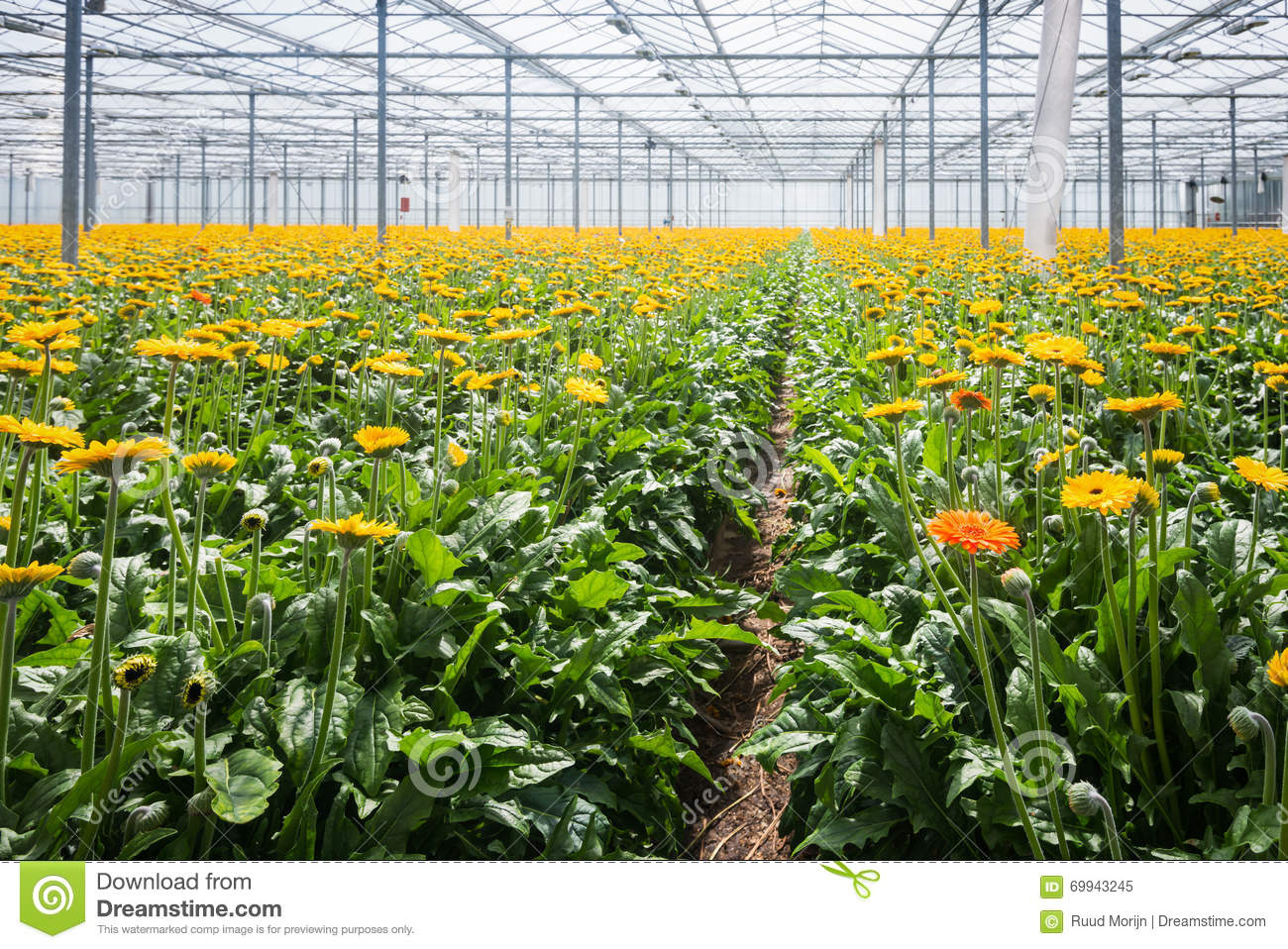 Gerbera Cultivation In A Dutch Glasshouse Stock Image Image Of Glass Blooming 69943245