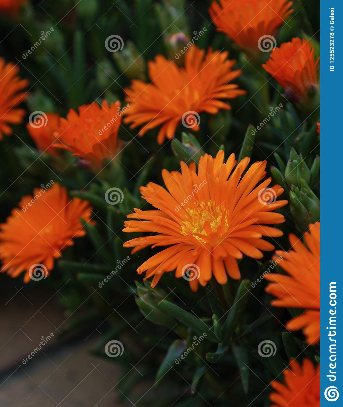 Gerbera Daisy Orange Color Flowers
