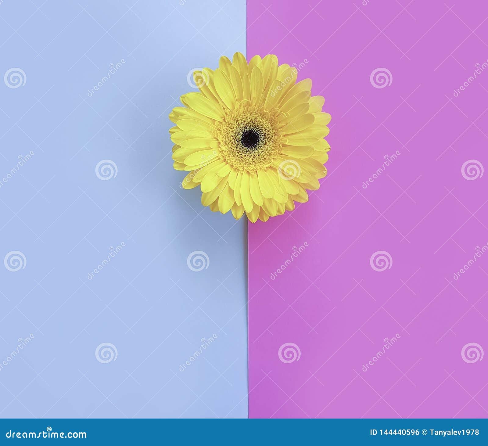 Gerbera de la flor en el minimalismo hermoso de la estaci?n de la textura del fondo rom?ntico colorido de la primavera creativo