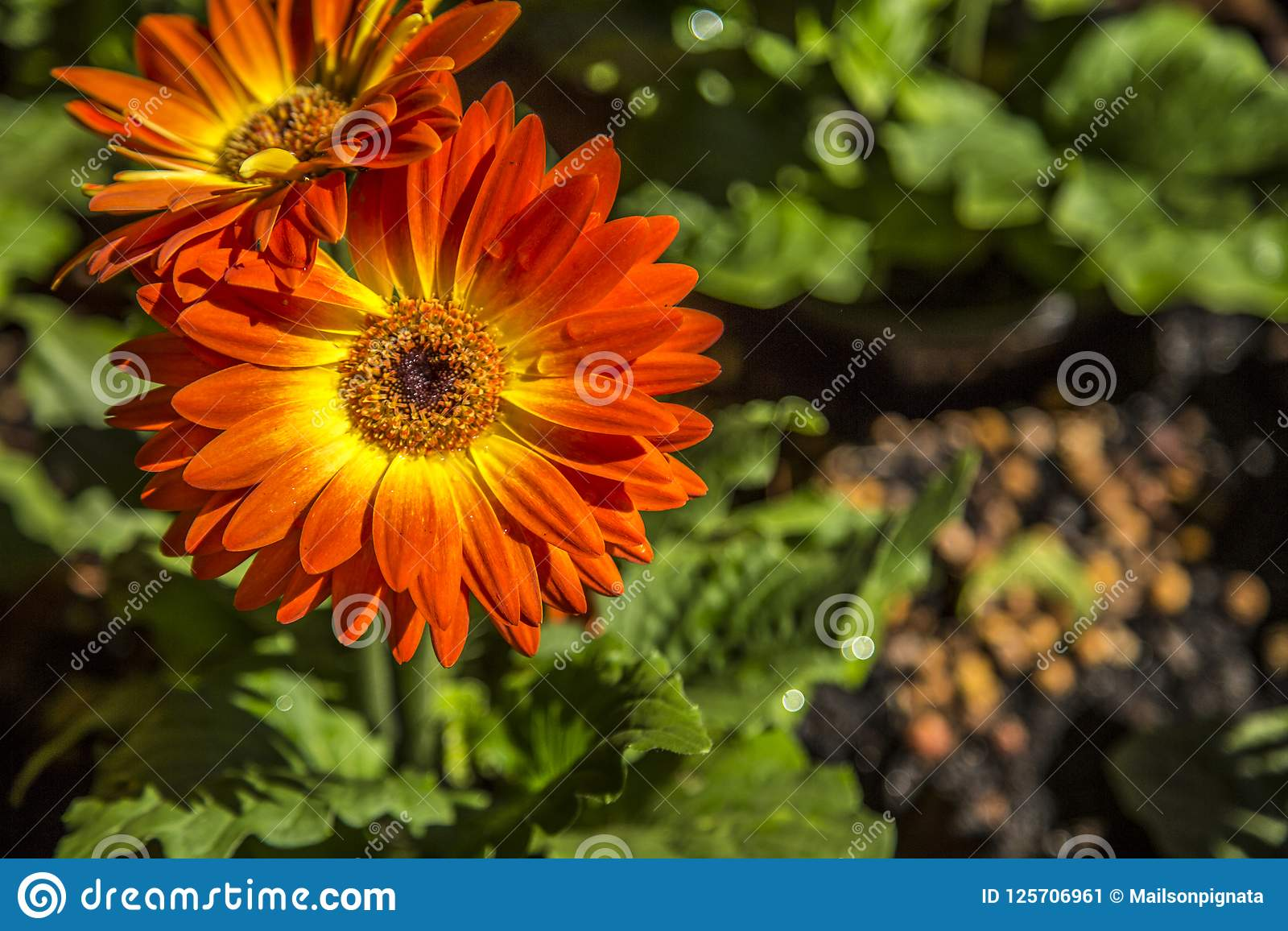 Gerbera flower plant color