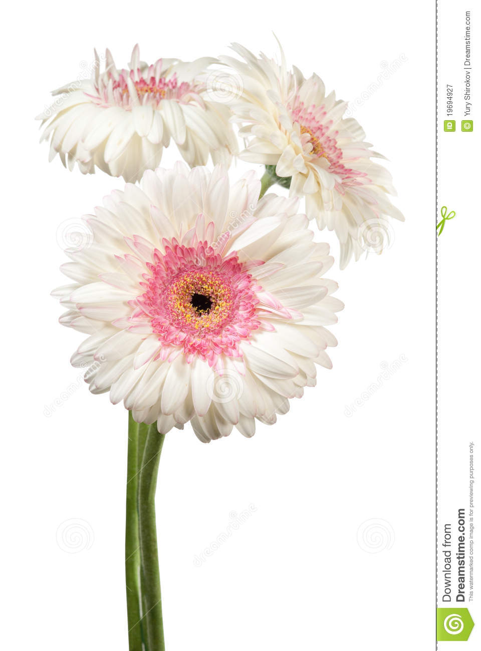 Gerbera flowers on white stock image image of life nosegay 19694927 download comp mightylinksfo