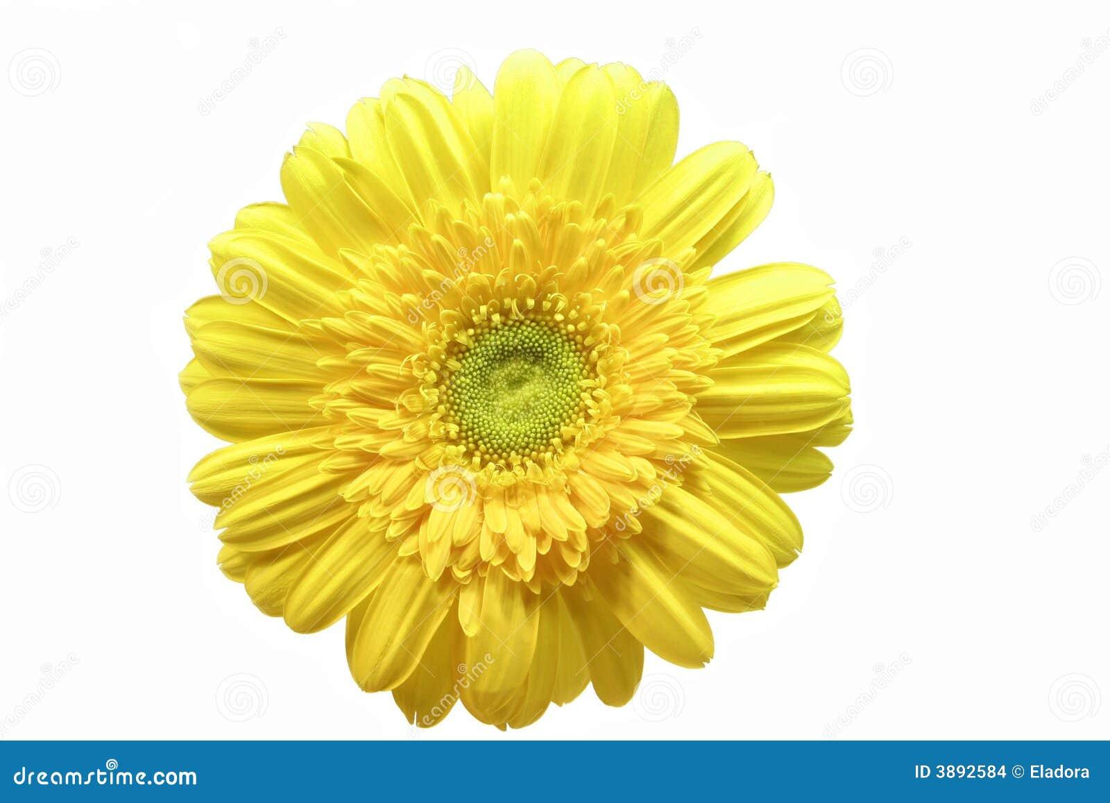 Gerbera giallo
