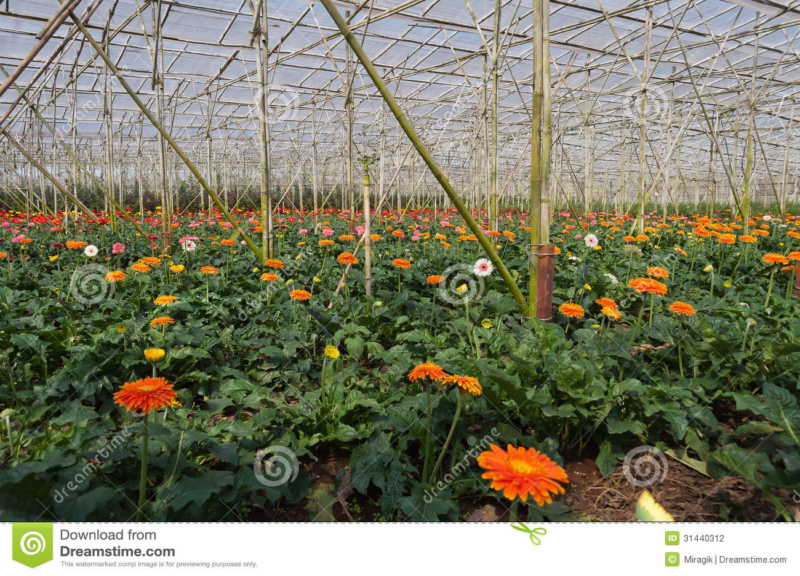 Gerbera In Greenhouse Da Lat Vietnam Stock graphy Image