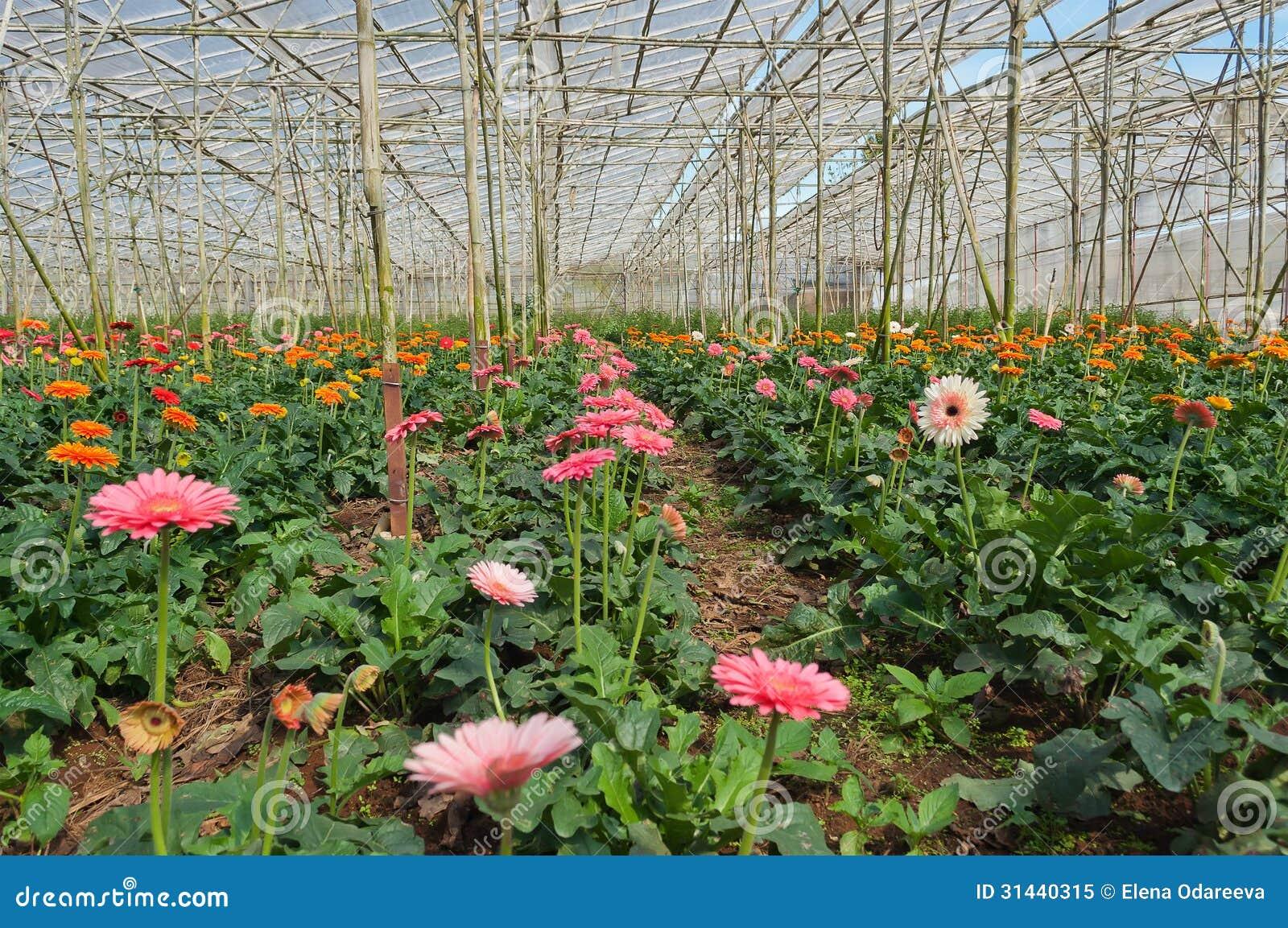 Gerbera In Greenhouse Da Lat Vietnam Royalty Free Stock Image 3144