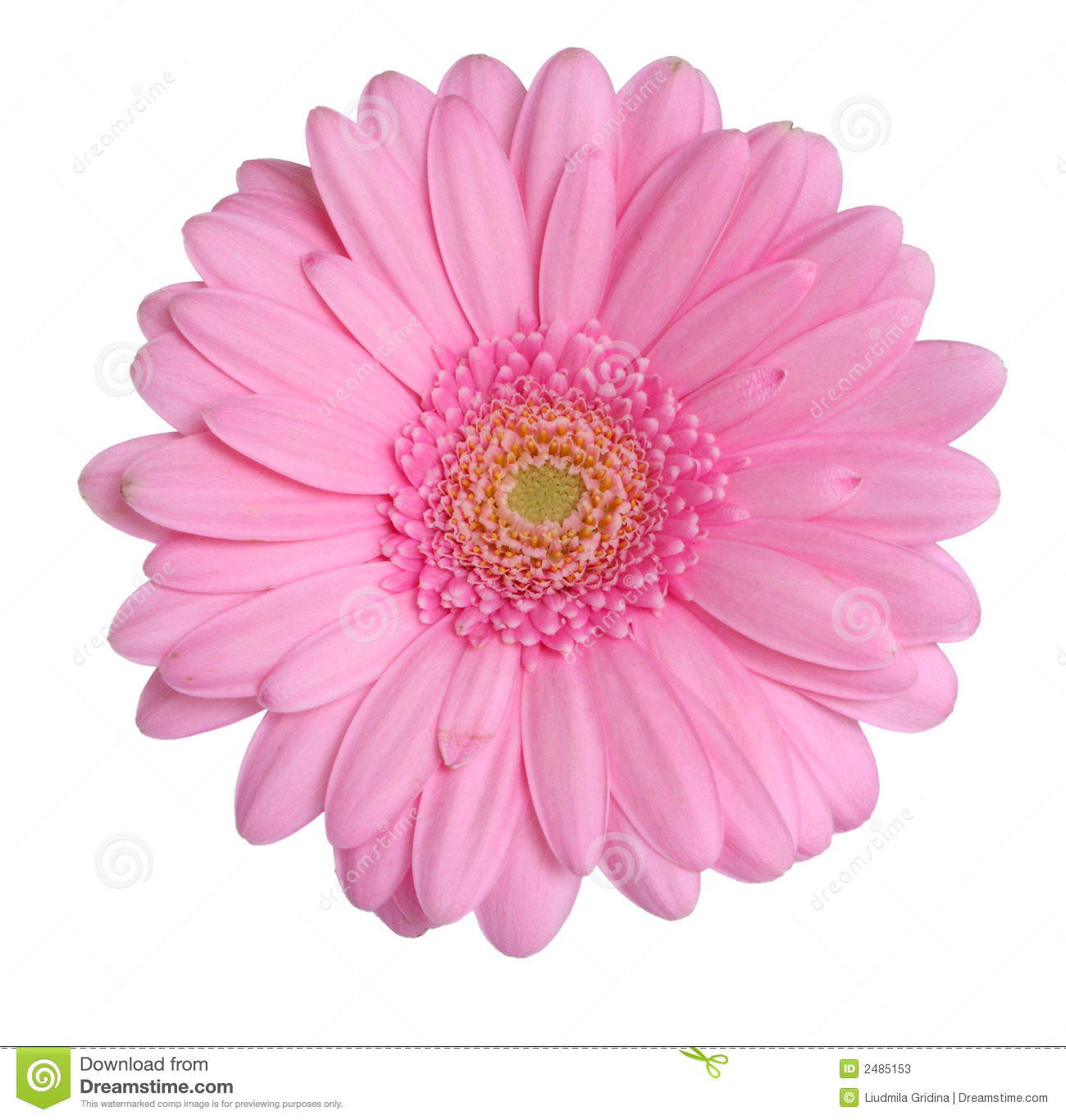 Pink Gerbera Daisy Clip Art - Floral delivery