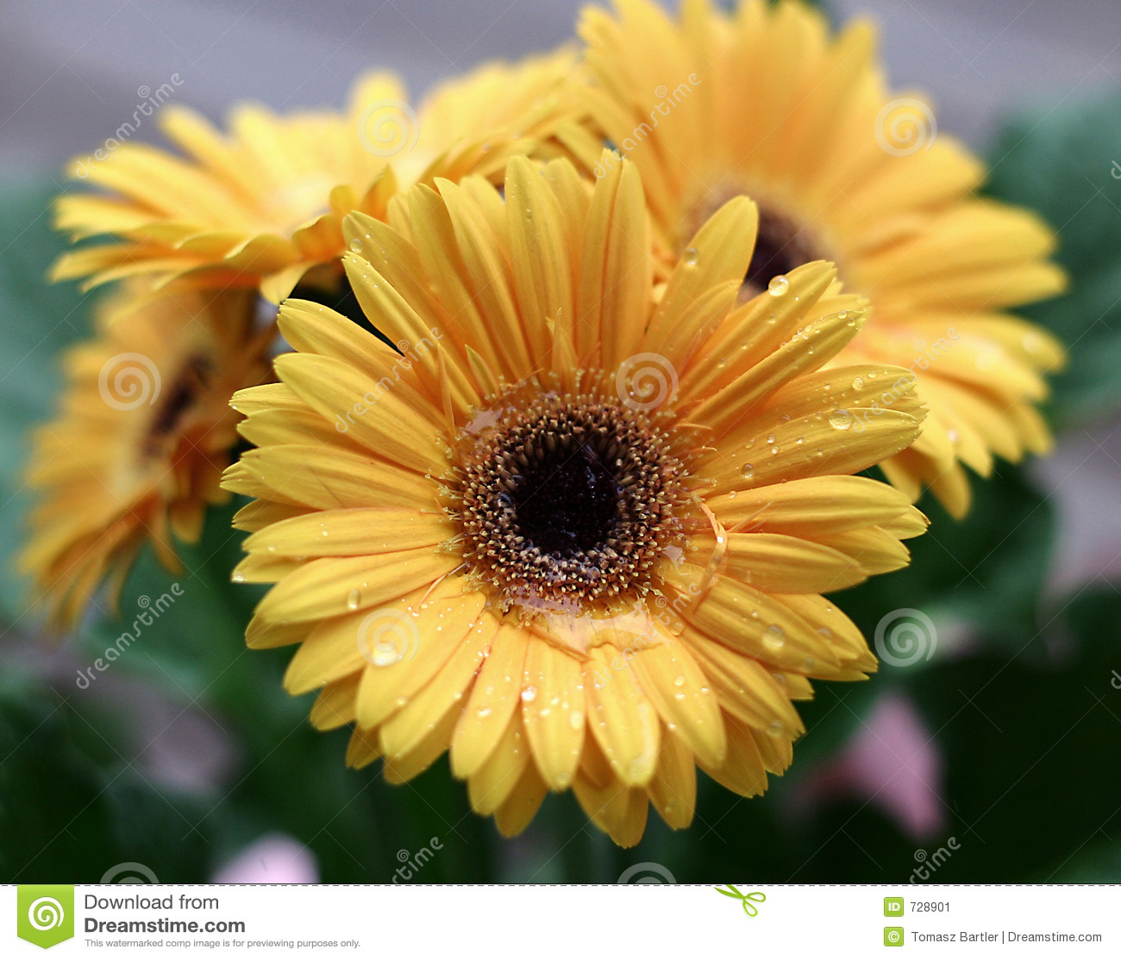 Gerbera jaune