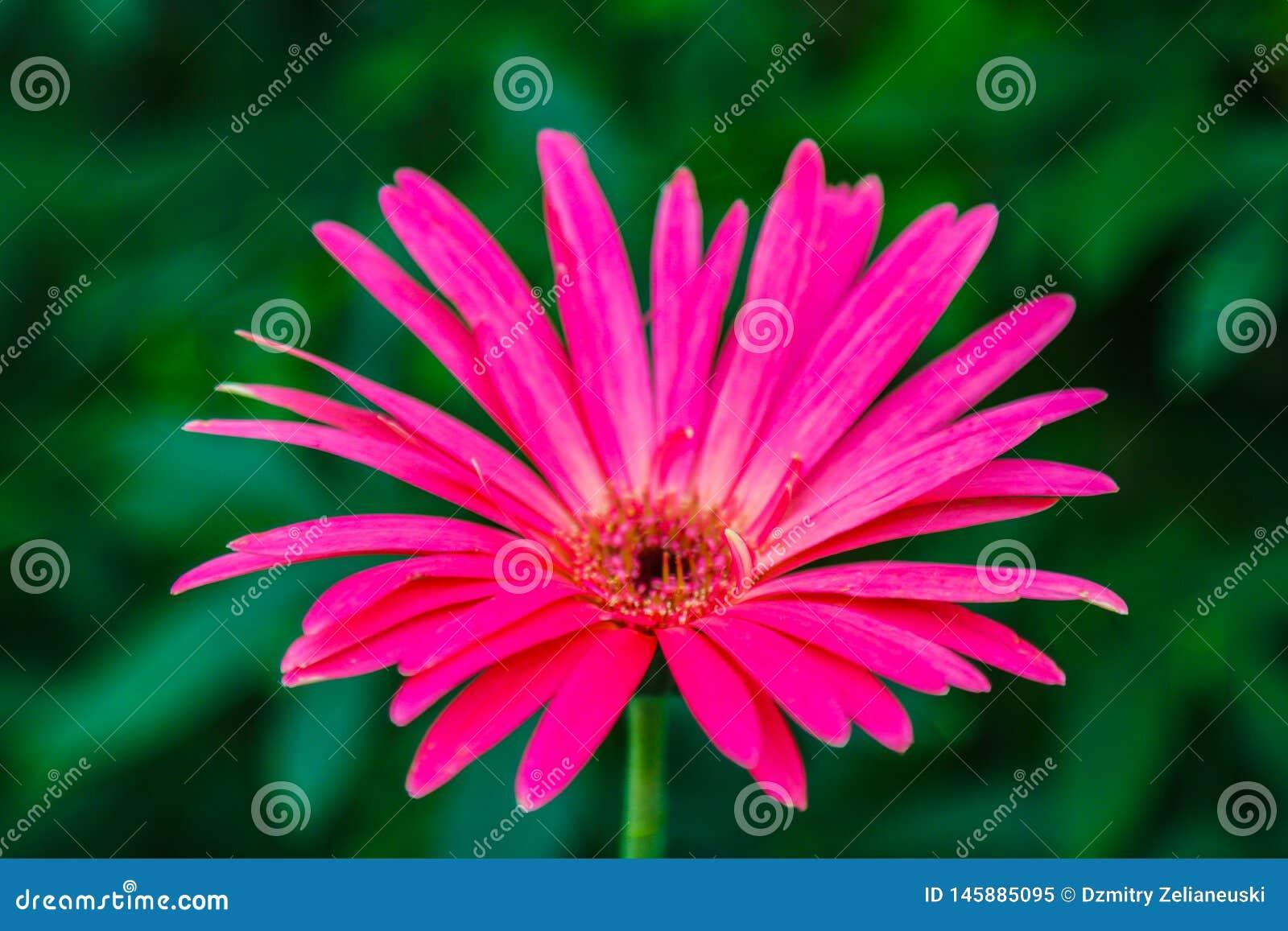 Gerbera jest genus rośliny w stokrotki rodzinie Gerbera gatunki znosz? wielkiego capitulum z krzesaniem, lipped promieni florets