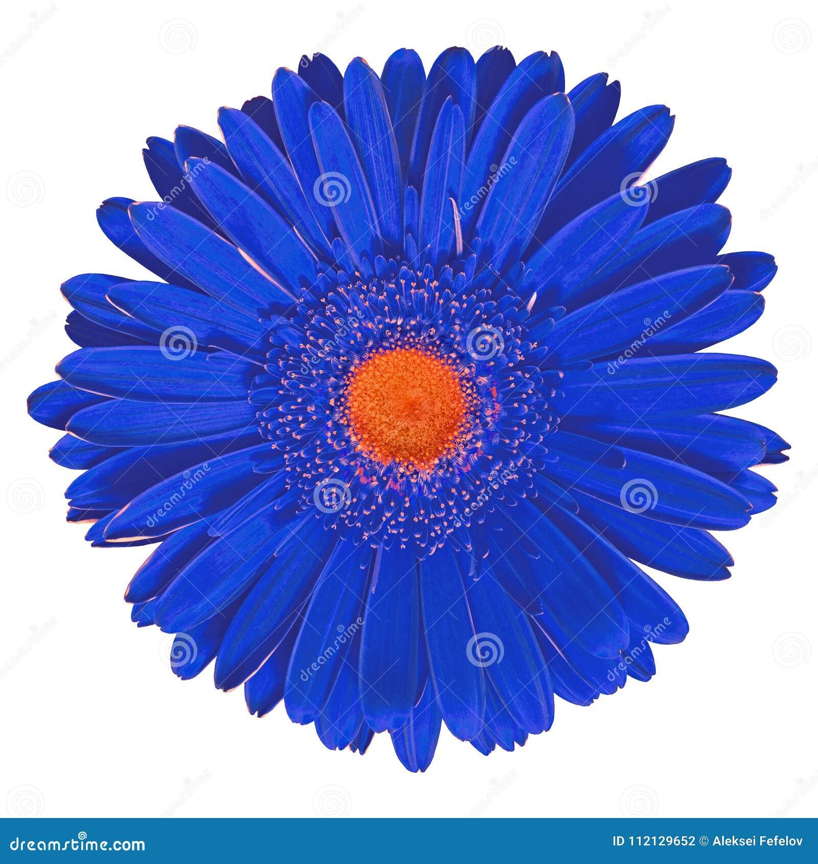 Gerbera Orange Bleu De Fleur D Interieur D Isolement Sur Le Fond