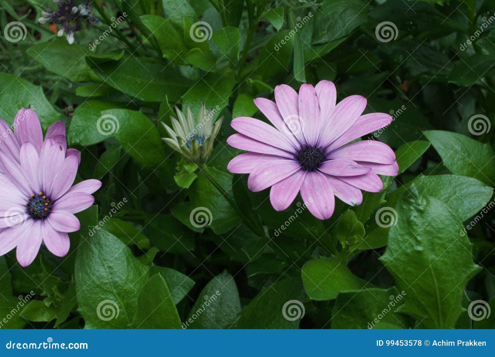 Gerbera purpur menchie