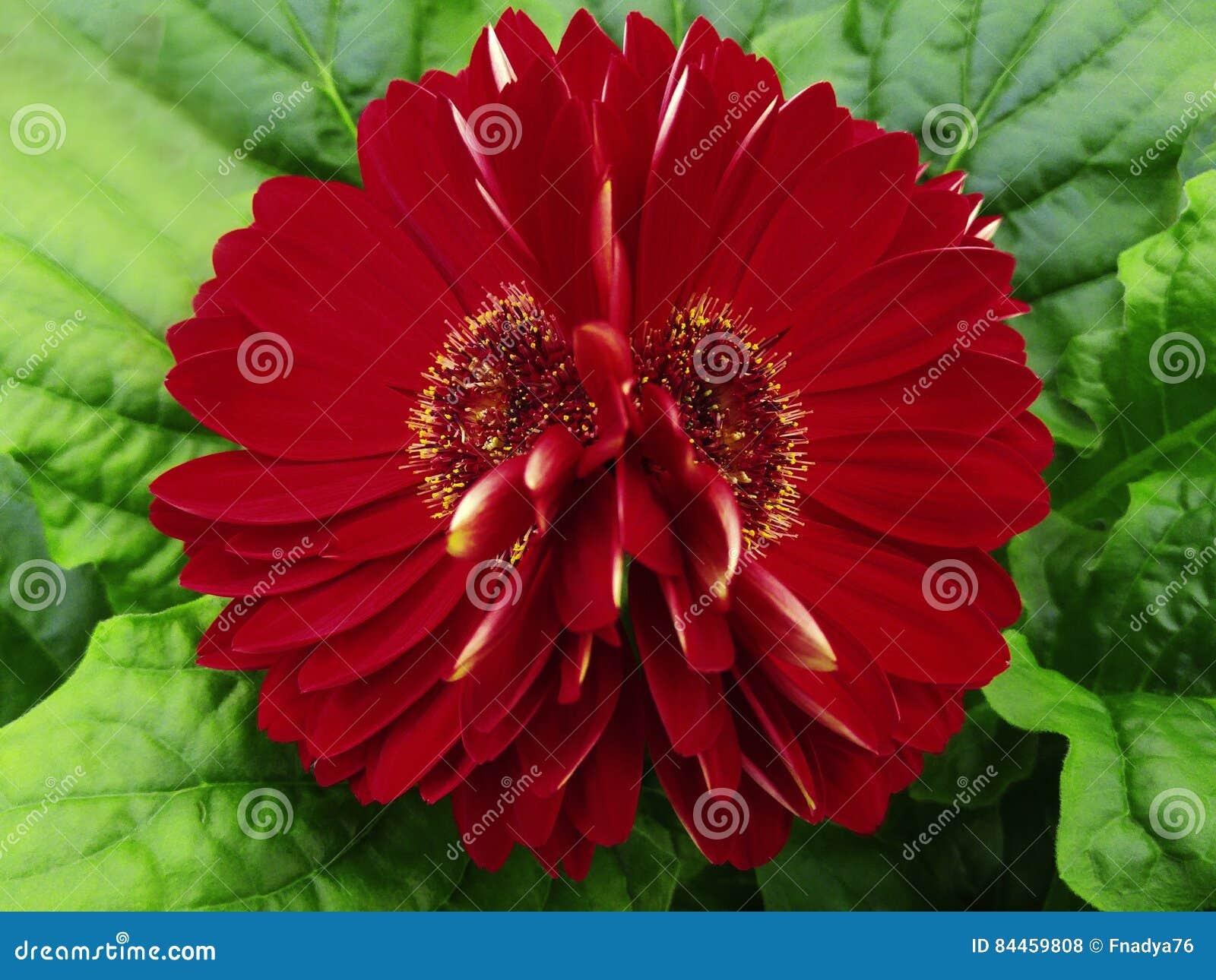 Gerberaen blommar rött mörker - closeup härlig blomma två Grön bakgrund