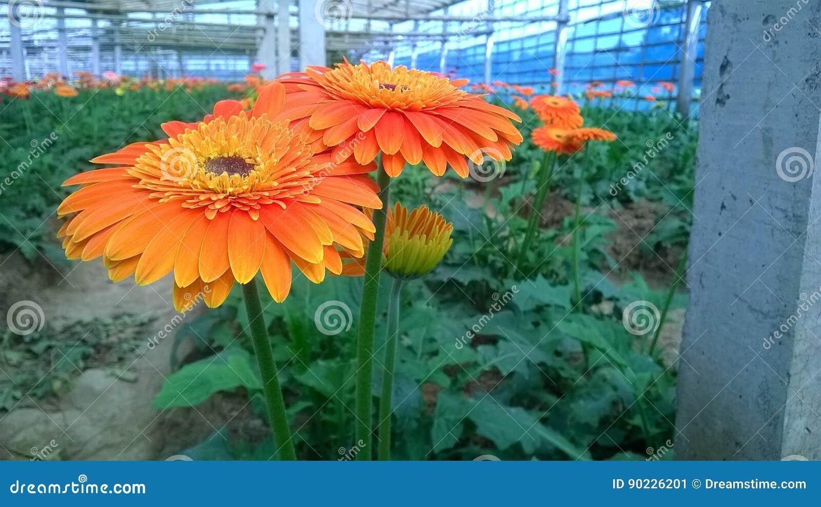 Gerberagänseblümchen u. x28; flower& x29;