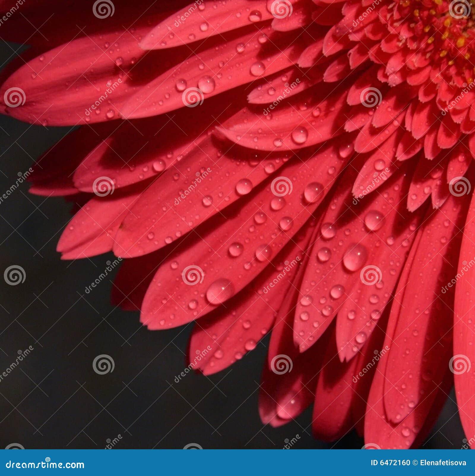 Gerbery tła płatków róż ciemności