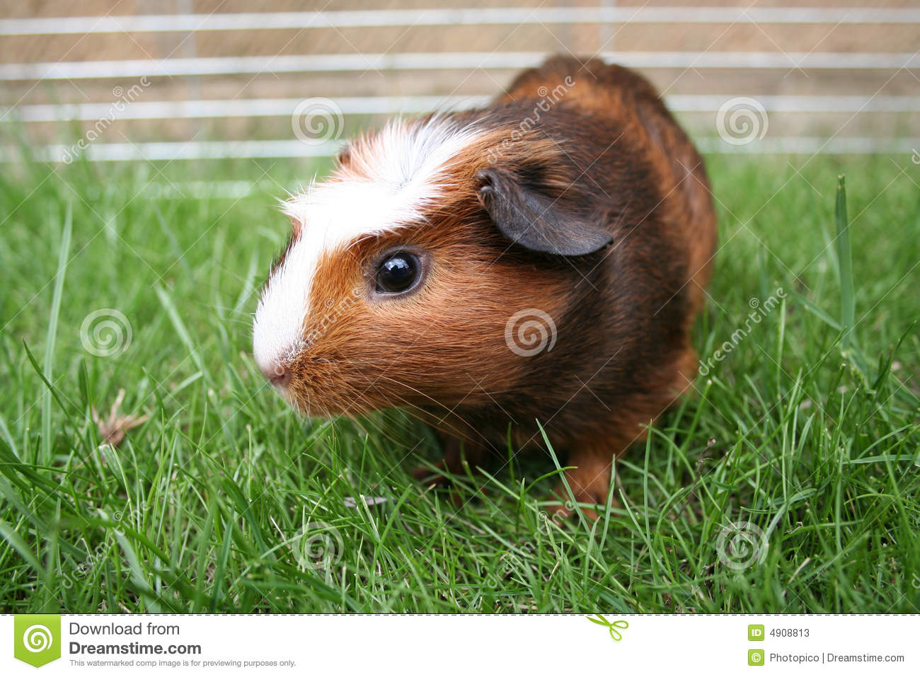 Gerbil d animal familier de Brown