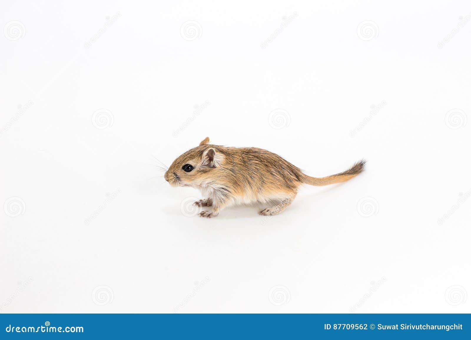 Gerbil mongol d ordures, rat de désert