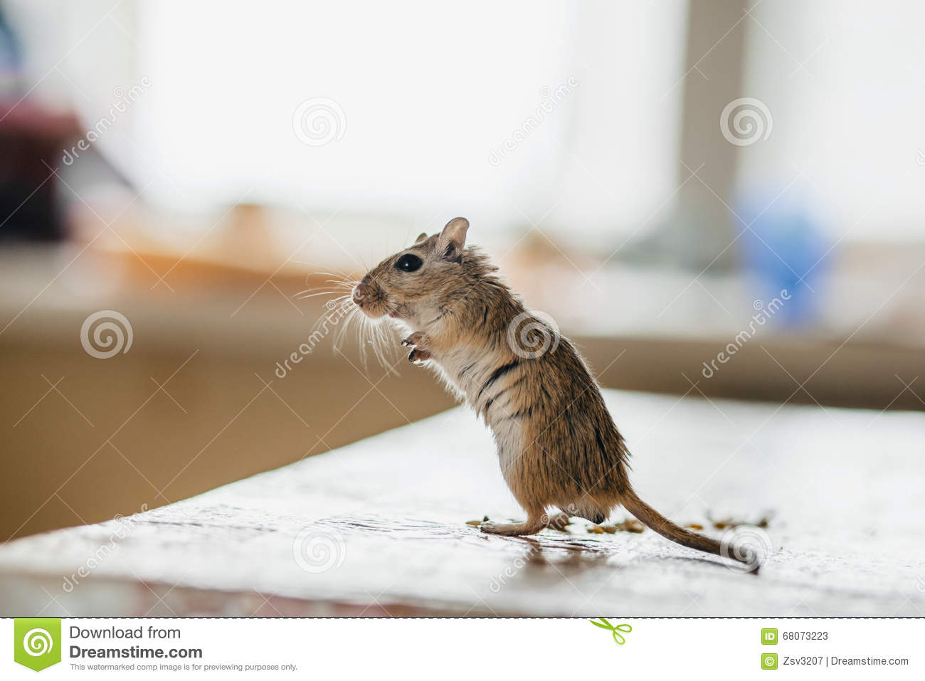 Gerbil Mouse Standing On The Kitchen Table Stock Photo - Image ...
