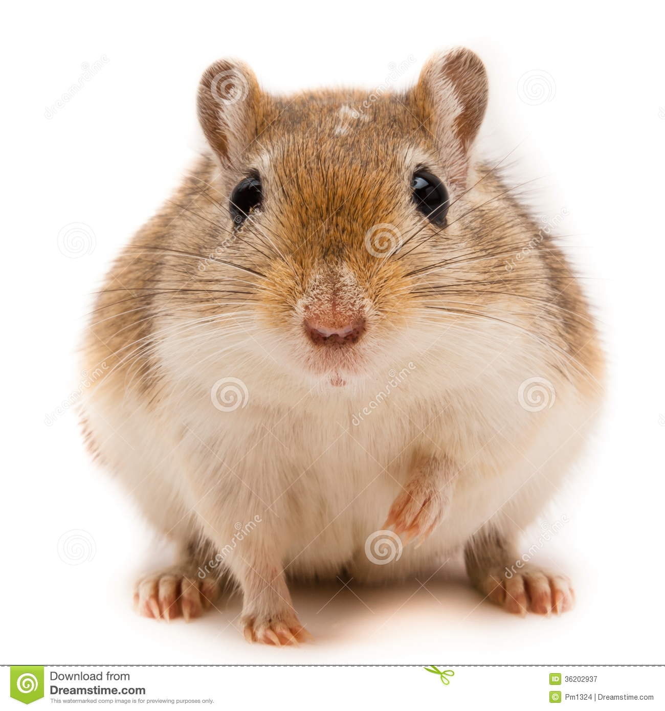 Royalty Free Stock Photography Gerbil Image 36202937