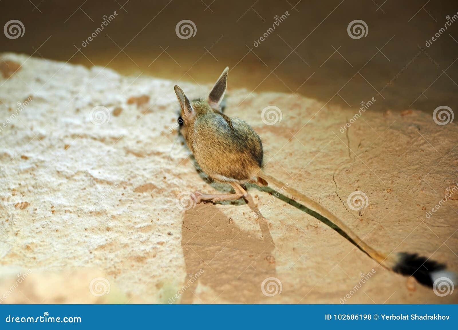 Gerboise/Jaculus La gerboise sont un animal de steppe et mènent une vie nocturne
